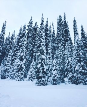 Snowy Trees in Canada